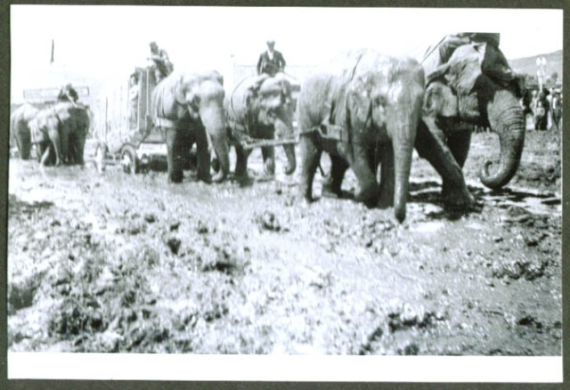 Al G Barnes Circus 4 elephants pull wagon in mud ca 30s